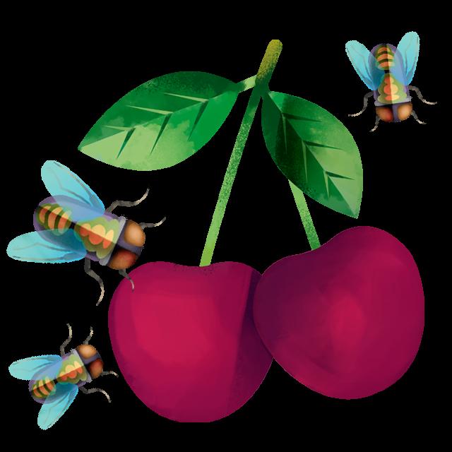Kirsche mit vielen Fliegen